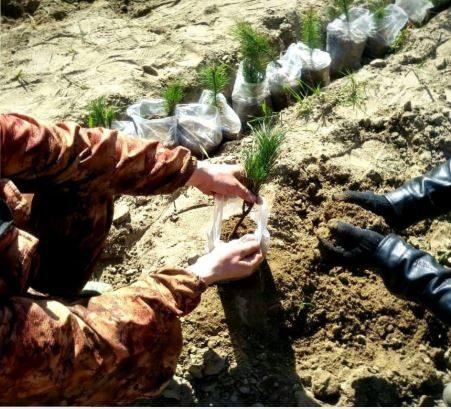 Hände pflanzen Zeder